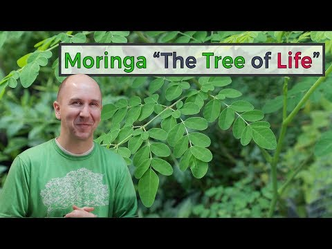 "Moringa Tree ""The Tree of Life"" 