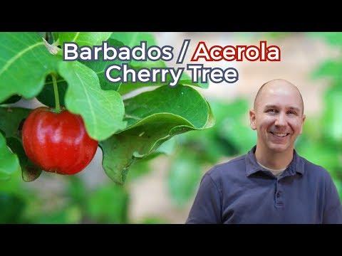 Acerola Cherry Tree aka Barbados Cherry   Garden vlog episode 20