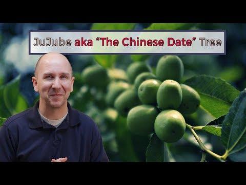 Jujube aka The Chinese Date Tree   Garden vlog episode 17