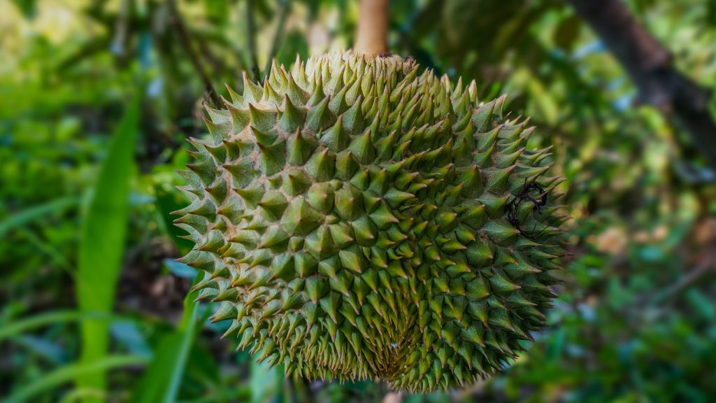 Durian fruit growing on a tree.