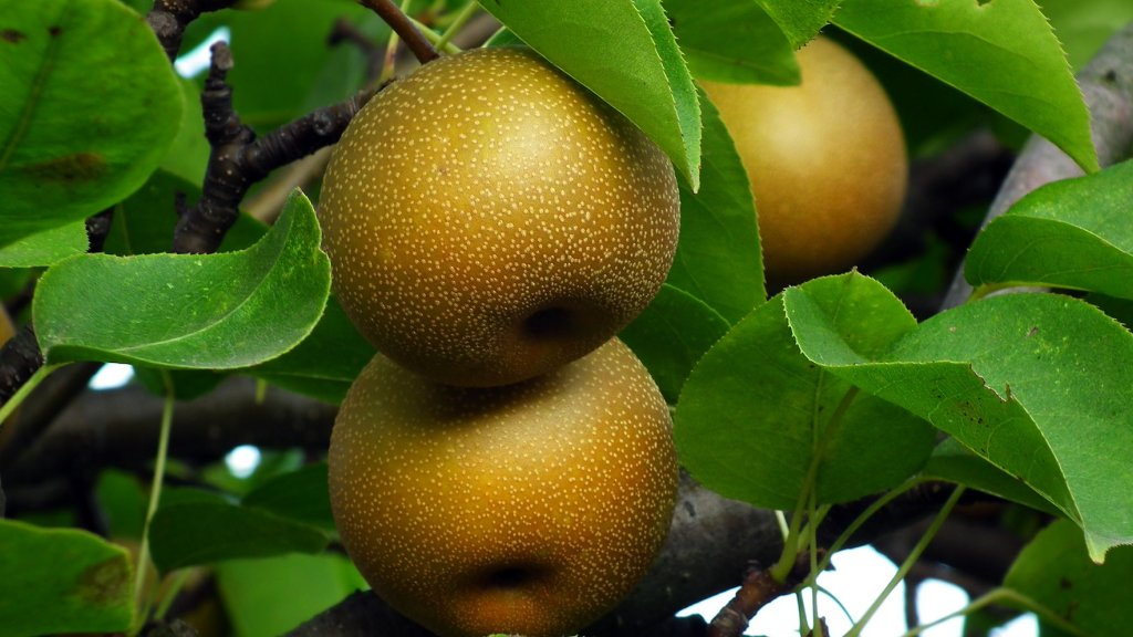 Three asian pears hanging from a tree branch.