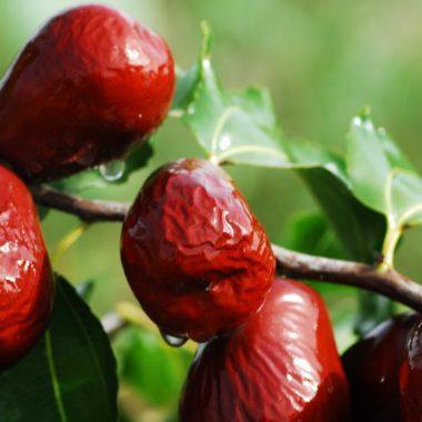jujube fruit Chinese date tree