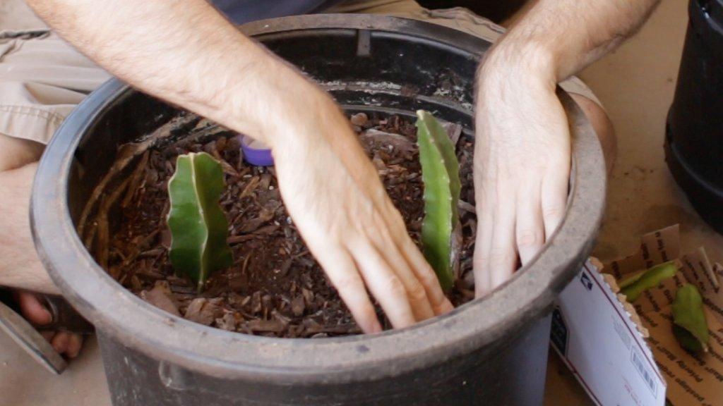 Hand planting pitaya cuttings in a pot.